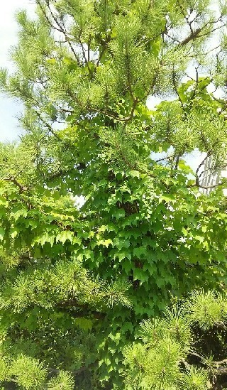 20170723_松の木a.jpg