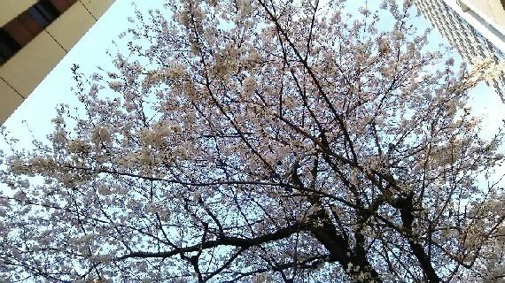 20180327_sakura_2-10a.jpg