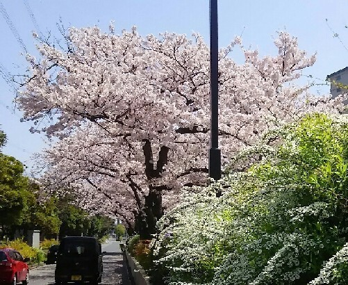 20180331_sakura_4-8a.jpg