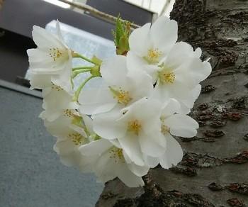 20190327_桜a03.jpg