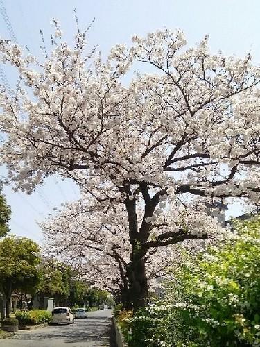20190406_桜_02a01.jpg