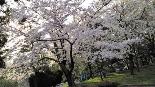 2014sakura1.jpg