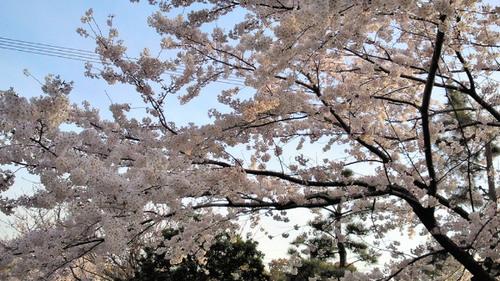 2014sakura2.jpg