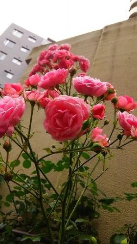 20160604_rose_a.jpg