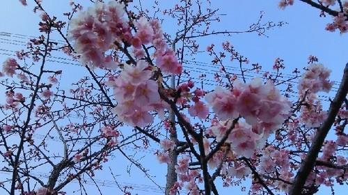 20170216桜a.jpg