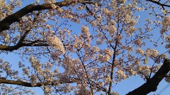 20180327_sakura_2-3a.jpg