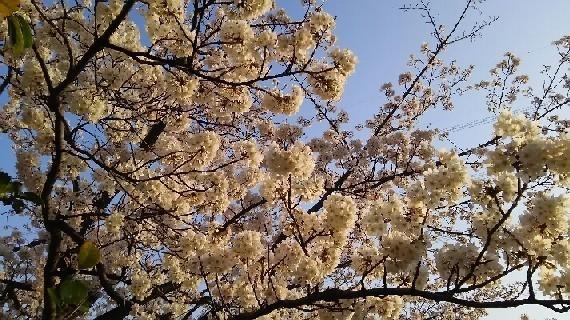 20180327_sakura_2-7a.jpg