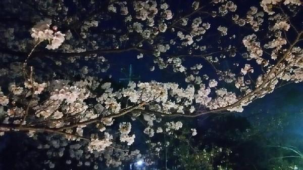 20180328_yozakura_01a.jpg