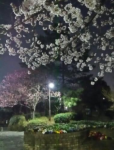 20180328_yozakura_04a.jpg