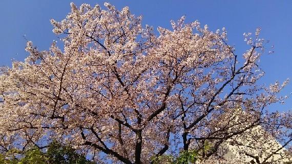 20180331_sakura_4-2a.jpg
