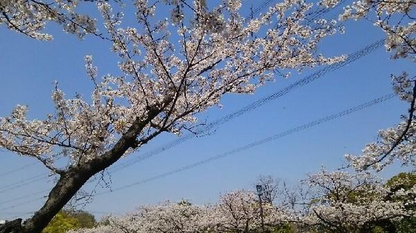 20190406_桜_03a02.jpg