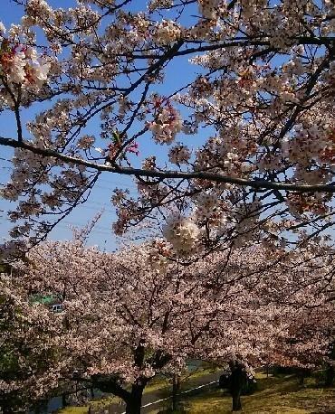 20200404_桜_04a.jpg