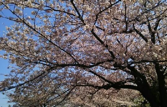 20200404_桜_05a.jpg