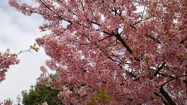 20210308_河津桜.jpg
